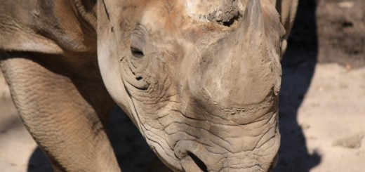 strong rhino