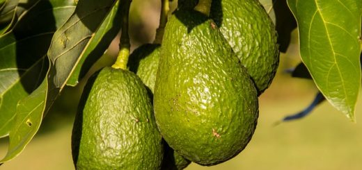 Avocado hanging fruit
